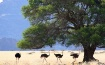 Four Ostriches