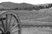 Vineyard- Oregon