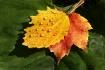 Yellow Tears