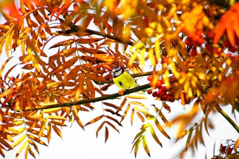 Tit on a rowan - ID: 7139508 © Krystian Madejski