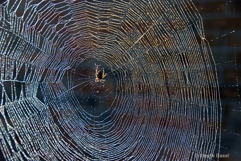 Morning dew on Spider web... - ID: 7152763 © Sibylle Basel