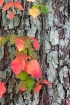 Ivy and Lichens