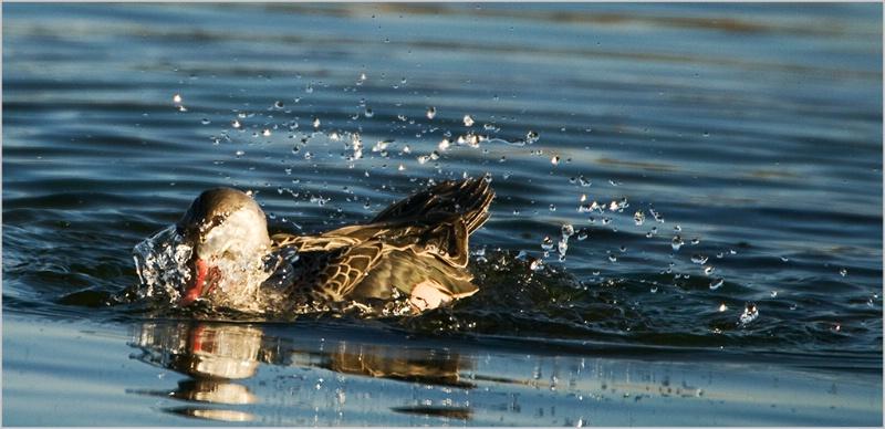 Bathing Goose