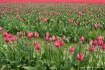 Skagit Tulips