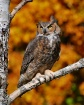 Owl in the Fall