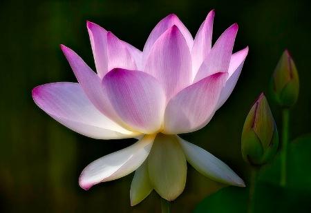 Lotus & Buds