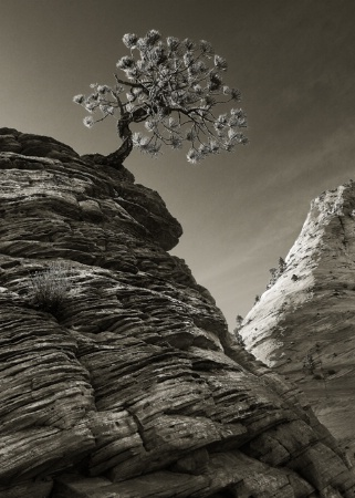 The Zion Tree