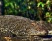 sleeping-croc