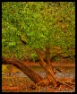 Hedge Apple