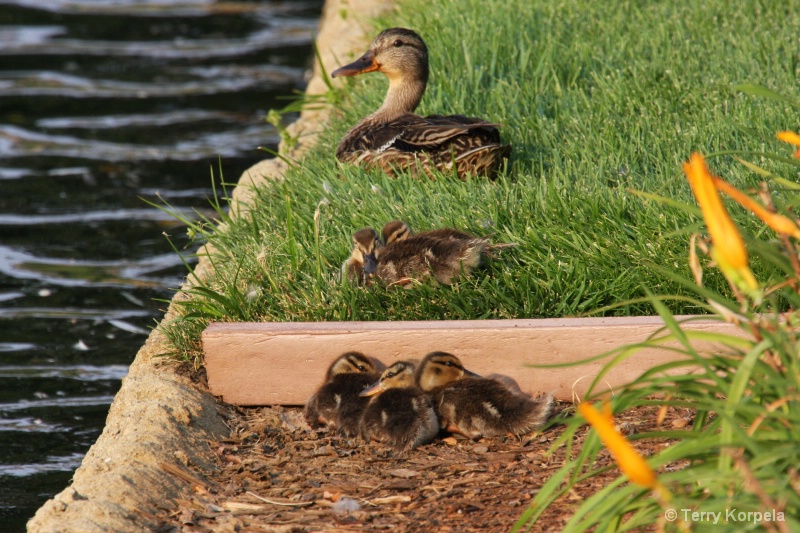keep all of your ducks in a row - ID: 7302351 © Terry Korpela