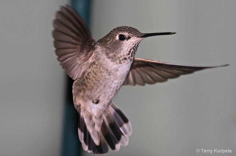 Anna's Hummingbird - ID: 7310970 © Terry Korpela