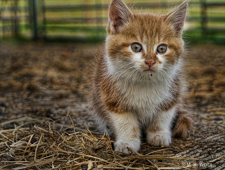 Country Kitten