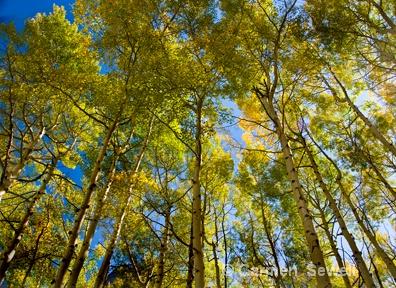 Aspen Overhead - ID: 7315586 © Carmen B. Sewell