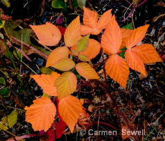 Orange Leaves - ID: 7315592 © Carmen B. Sewell