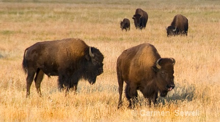 Grazing Bison - ID: 7315857 © Carmen B. Sewell