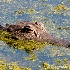 © Carmen B. Sewell PhotoID # 7319799: Alligator 2