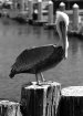 Brown Pelican at ...