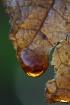 golden droplets f...