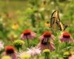Grand Swallowtail