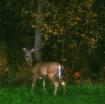 Untitled Bambi