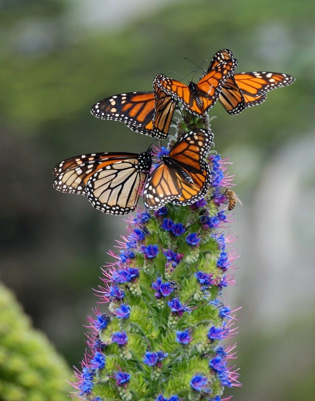 Monarchs and Bee