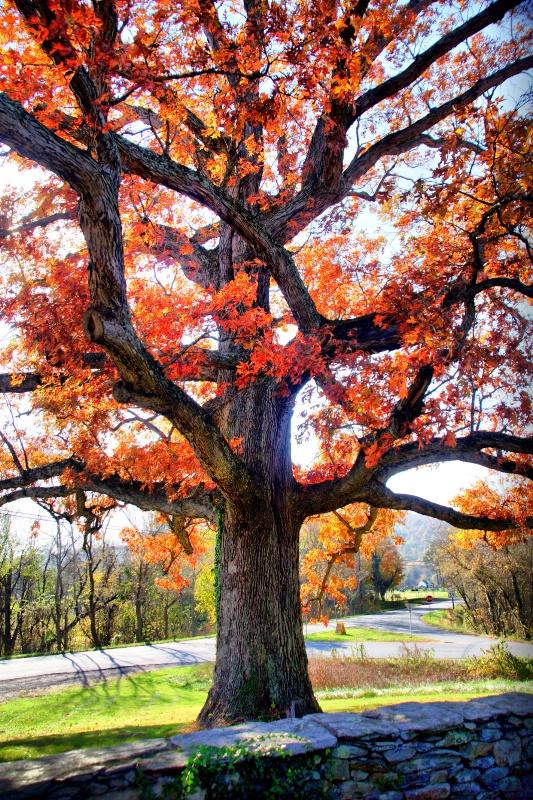 Awesome Oak - ID: 7372488 © Eloise Bartell