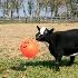 © Kevin Fogle PhotoID# 7375732: goat retreiving pumpkin