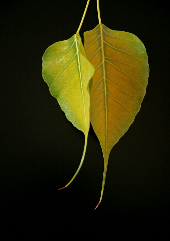 THE   HANGING   LEAVES