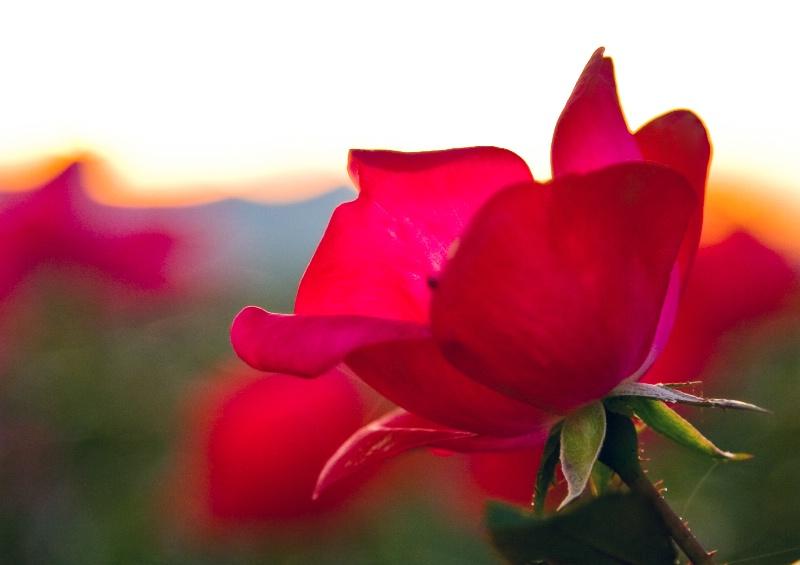 Sunset Through The Rose