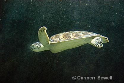 Turtle - ID: 7397223 © Carmen B. Sewell