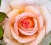 Blushing Rose.......