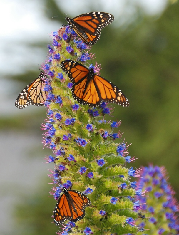 Butterflies on Pride of Madeira
