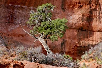 Lone Pine Tree, Monument Valley Az - ID: 7426969 © Carmen B. Sewell