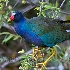 © Cliff Kolber PhotoID # 7435743: <B>PURPLE GALLINULE</B>