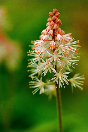 Foamflower Bloom