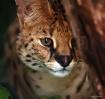Secretive Serval