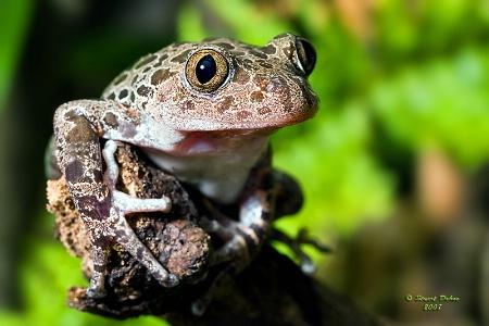 Senegal Running Frog