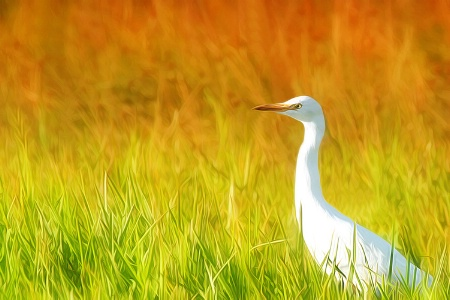 Egret in a Field