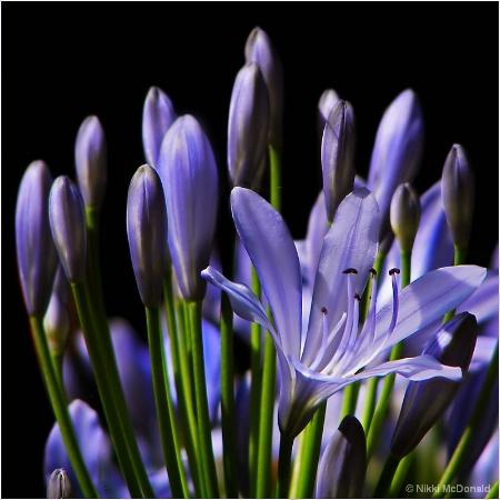 Lavender Promise