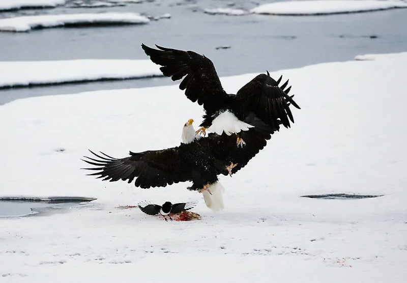 Dueling Eagles, Haines, AK