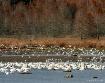 Waterfowl Festiva...