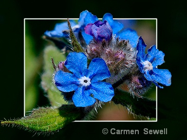 Forget Me Nots - ID: 7537095 © Carmen B. Sewell