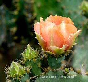 Peach Cactus - ID: 7537097 © Carmen B. Sewell