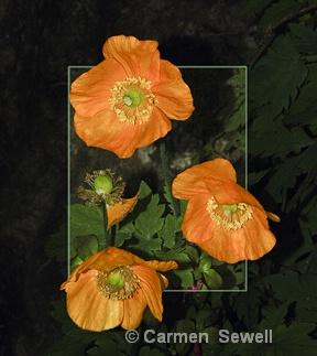 Golden Poppies - ID: 7537099 © Carmen B. Sewell