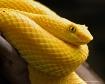 Eye Lash Viper