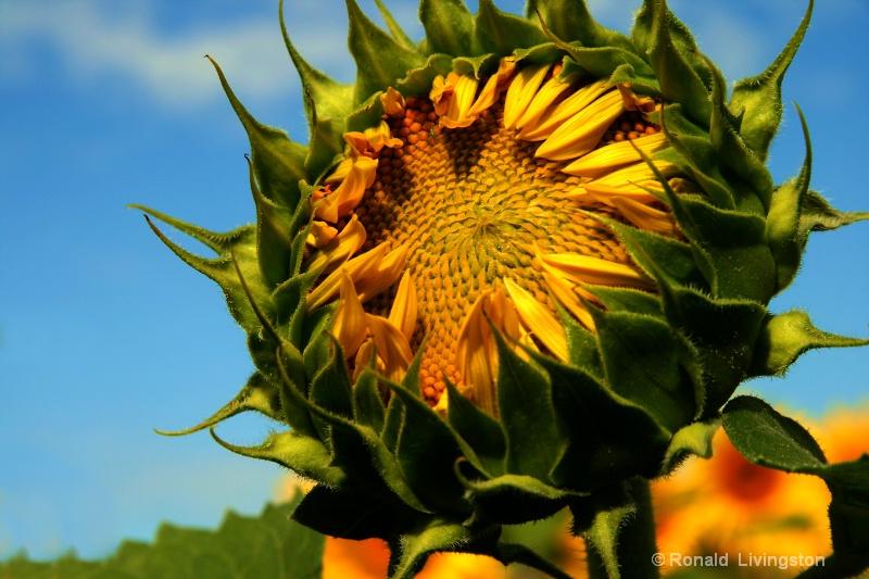 Sunny  Face - ID: 7552567 © Ron Livingston