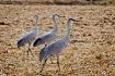 Sandhill Cranes #...