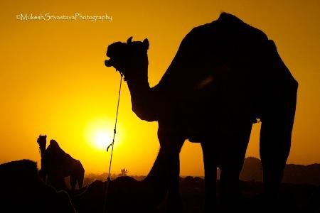 Camels of Desert