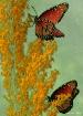 Butterfly Fantasy...