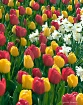 Tulips and Daffy&...